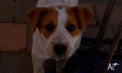 Beautiful male red cattle dog needing a home with space