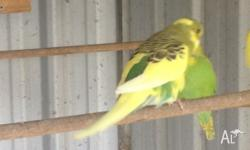Young Male Aussie Pied Budgie Top condition, beautiful