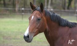 10 year old, 16.2 hh TB Mare, had one very stunning
