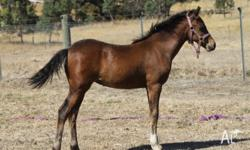 DP China Doll Yearling Reg welsh B filly. Mature