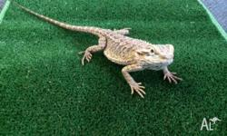 We have one sub adult central bearded dragon for sale