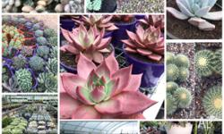 Huge selection of succulents , cacti and Agave starting