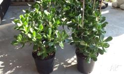 I have 4 quality jade plants grown in 175mm pots with