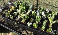 I have 40 succulents for sale. Grown in 70mm pots in
