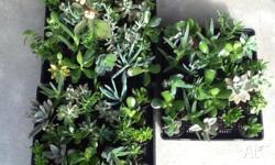 I have 75 succulents or sale, grown in premium mix with