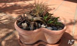Succulents Potted - Various Plants $10.00 each In