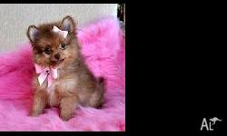 Different colors - Pomeranian pups - 12 weeks old for
