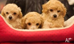Hi, I have 3 adorable toy pAustralialisted puppies for