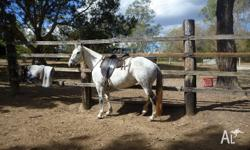 Sqeak unreg quarter horse, mare 14hh, 6yrs. sqeak is a