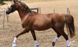 Sadly offering for sale our Welsh B Stallion due to