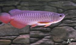 Best quality Super Red Arowana fish and many others