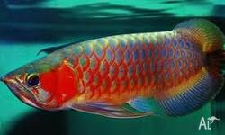 We have available Arowana fishes of many kinds