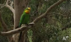 2 year old male superb parrot for sale. Top condition.