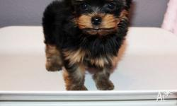 Sweet Humble and Adorable teacup Yorkshire terrier