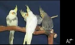 Many tame beautiful baby cockatiels. Tame and hand