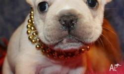 Tamed Purebred Akc Reg French Bulldog Puppies,,2
