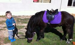 'TAS' is a beautiful Shetland pony. He is 10hh and