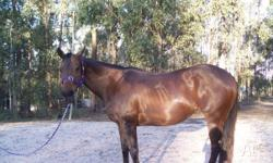 15.1hh 18yr old TB bay mare for lease. Due to time