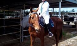 Jett is a 15.3hh TB x Stock horse gelding who loves to