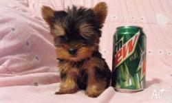 Hi, I have beautiful teacup Yorkie puppies available