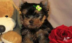 They are what we call the most gorgeous little Yorkies
