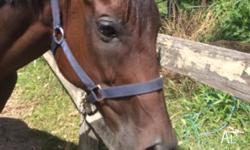 Buddy is a bay thoroughbred gelding, approx 14-15 years