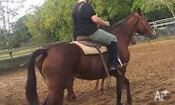 regretful sale selling my thoroughbred mare 16.3hh