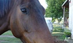 5yo BROWN MARE (28/10/2009) � 15.2 / 15.3 hh $500 Sire: