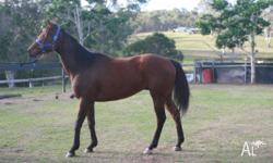 4 year Throughbred Gelding. Never raced. No vices Suit