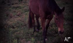 Tia is a 4 year old bay stock horse cross quater horse