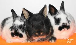 I have lots of cute dwarf baby bunnies for sale. $50