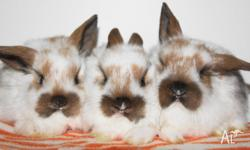 I have a few cute dwarf baby bunnies for sale. $60 each