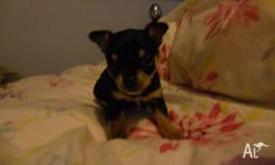 Very tiny and fat. Teacup Chihuahua pup from pedigree