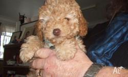 Male Pedigree toy PAustralialisted Caramel colouring .