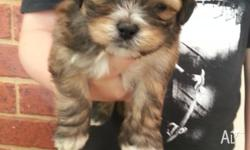 I HAVE 2 MALE, VERY TINY TOY SHIH-POO'S PUPPIES THAT