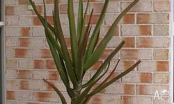4 Tree aloes for sale in 12inch pots, sun grown aprox.