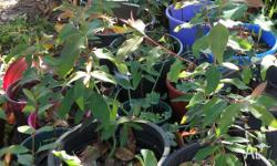 I have 20 native gum trees for sale at $4 each. They
