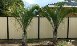 2 x small triangle palms $350 each 2x large triangle