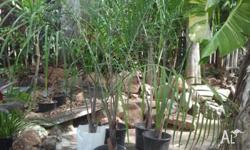 4ft Triangle Palms ready to be planted. Great if you