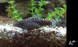 Fresh water cichlids and loaches. I am looking to go in