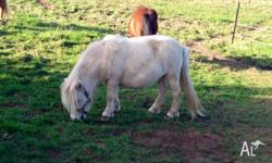 "Holly is 32"" pending rego mini horse. Lovely champagne"