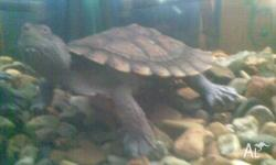 Turtle (approx. 10cm length of shell), turtle tank,