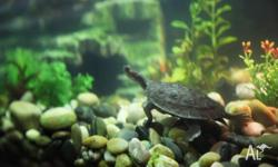 For Sale 2x Macleay River Freshwater Turtles. One