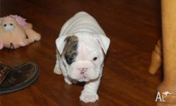I have an amazing litter of English bulldog puppies now