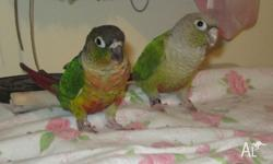 selling Male and Female Two Green Cheeked Conures (1