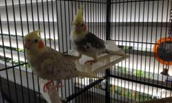 Two hand raised cockatiels for sale each sold