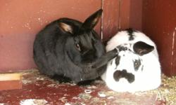 A pair of rabbits for sale. 1 Female black 1 Male black