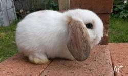 I have a baby boy mini lop rabbit. He is flee free