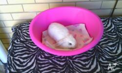 Hi, i have for sale adorable purebred dwarf lop girl (