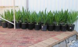 FOR SALE VERY HEALTHY POTTED YUCCA PLANTS WITH ORGANIC